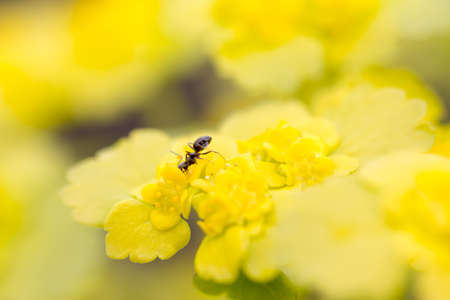 Ant on a yellow flower