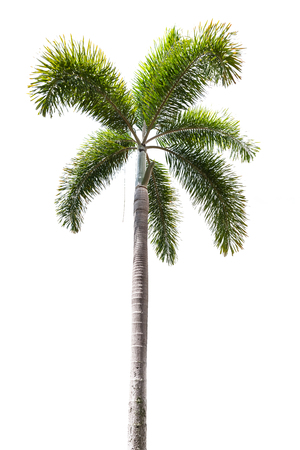 Macadamia or betel palm tree isolated on white background with clipping path. Stock fotó