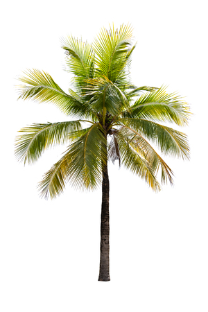 Coconut tree isolated on white background with clipping path.