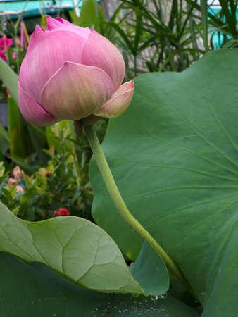 Lotus Stock Photo - 10675720