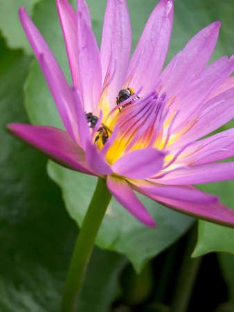 Lotus Stock Photo - 10675804