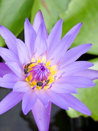 Lotus Stock Photo - 10675779
