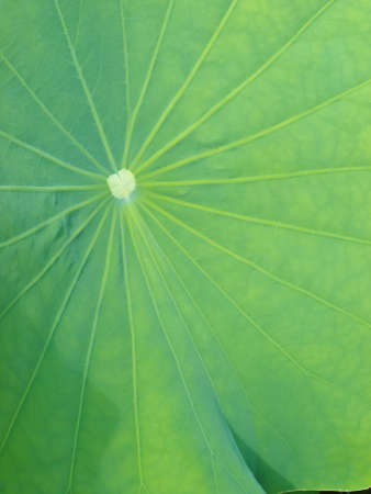 Lotus leaf photo