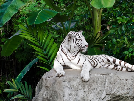 albino: White tiger