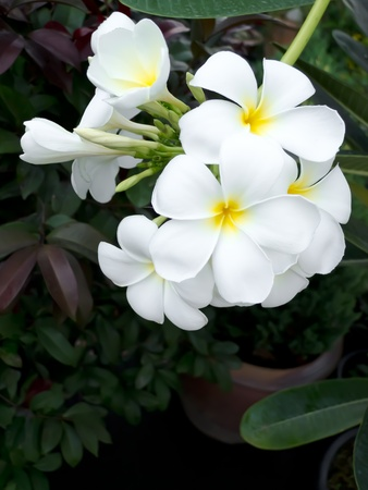 White Champaka Stock Photo - 12743279