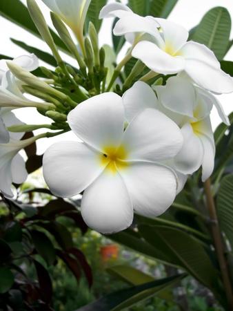 White Champaka Stock Photo - 12743259