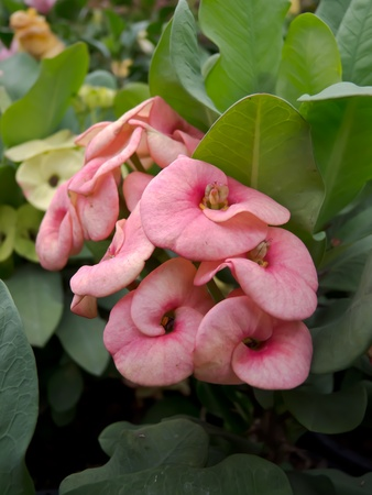 Euphorbia milii  photo
