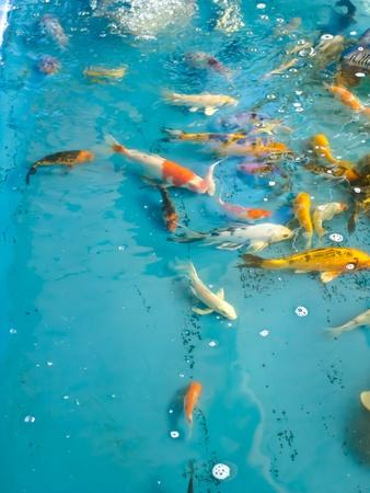 frenzy: Koi fish