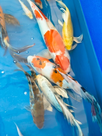 Koi fish Stock Photo - 13450783