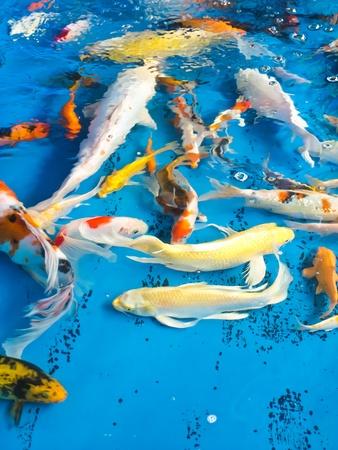 koi fish Stock Photo - 13440821