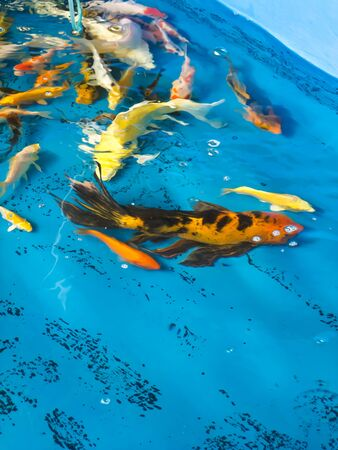 Koi fish photo