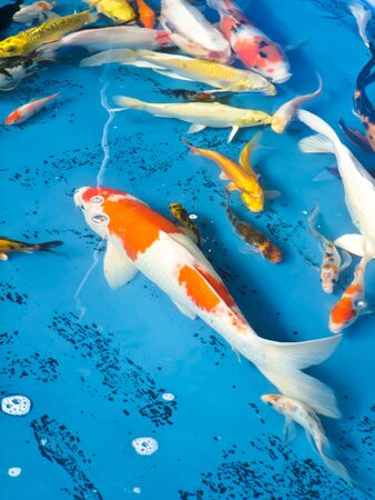 koi fish Stock Photo - 13450792
