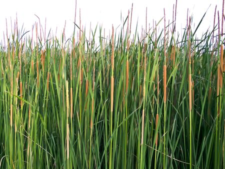 cattail: reed