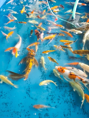 koi fish pond: koi fish