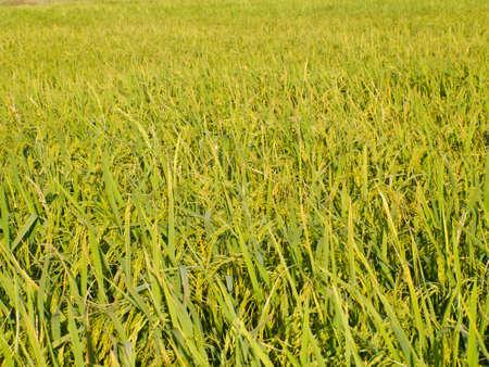 paddy: jasmine rice field