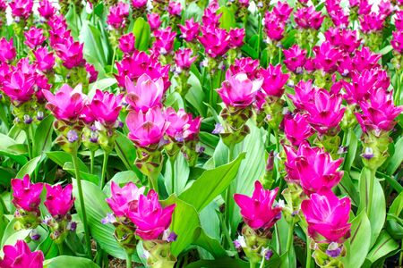 Beauty of the Siam Tulip