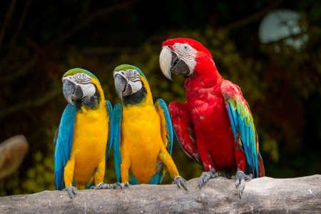 ararauna: Azul-y-Amarillo-Rojo Guacamayo Ara ararauna, tambi�n conocido como el azul y oro guacamayo