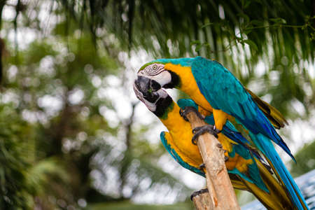 aves: Blue-and-Yellow Macaw, also known as the Blue-and-Gold Macaw