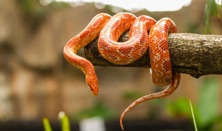 Red Corn snake  Elaphe guttata  slithering on a bare branch