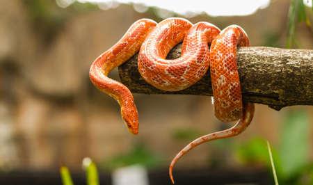 slithering: Red Corn snake  Elaphe guttata  slithering on a bare branch