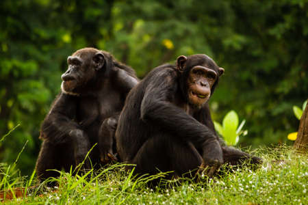 Close up of a Chimpanzee  pan troglodytes  couple