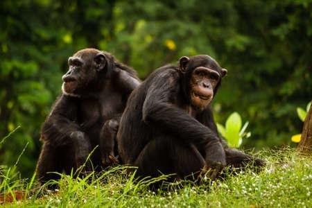 simia troglodytes: Close up of a Chimpanzee  pan troglodytes  couple