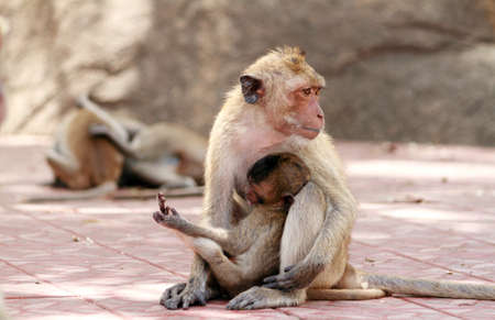 Thai monkey: Child and mom photo