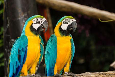 aviary: Couple macaw