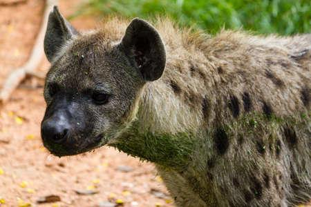 carnivora: Spotted Hyena Stock Photo