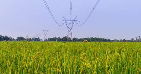 Electrical net of poles on blue sky and green rice meadow  photo