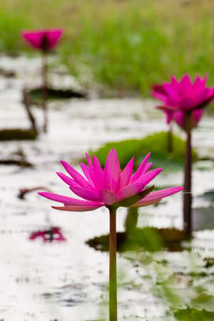 Pink Lotus flowers in Thailand.  Stock Photo - 17462725