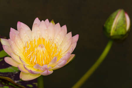 Lotus flowers in Thailand.  Stock Photo - 17462667
