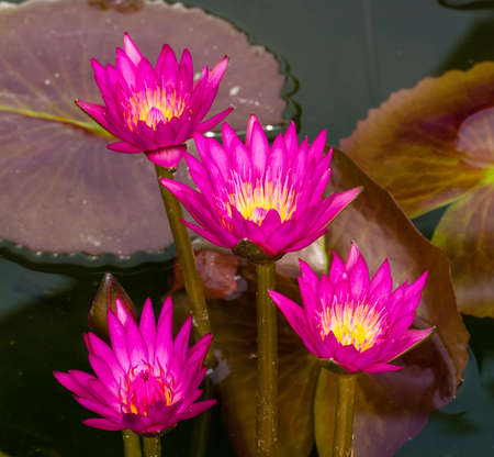 Pink Lotus flowers in Thailand. Stock Photo - 17462655