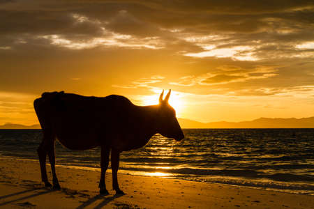 calf: Cows on the beach background sea and sunrise