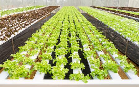hydroponic: Organic hydroponic vegetable farm