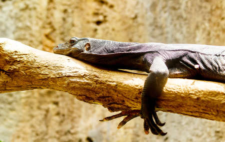 viviparous lizard: Sunbathing black  lizard