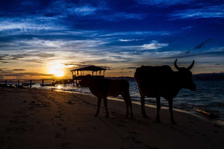 Silhouette of Cows - Beach during sunset photo