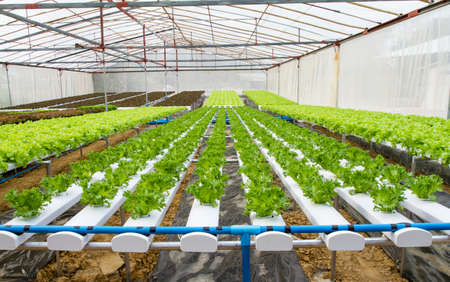 asian produce: Organic hydroponic vegetable farm