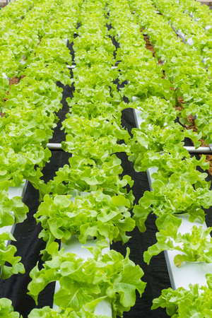 Organic hydroponic vegetable farm  photo