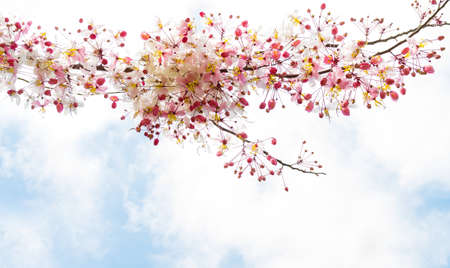Sakura flowers blooming blossom in Ayuttaya, Thailand photo