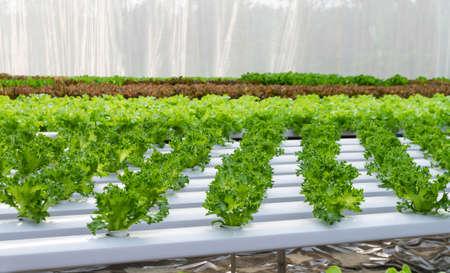 hydroponic: Vegetables hydroponics farms Stock Photo