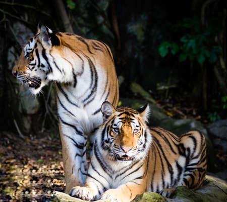 panthera tigris: Two tiger