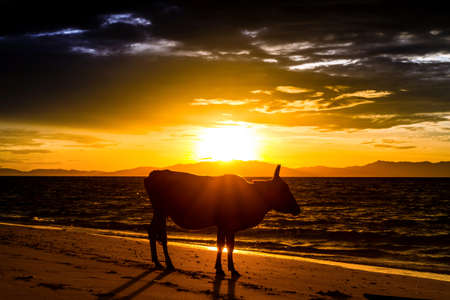 Cows on the beach sea and sunrise  photo