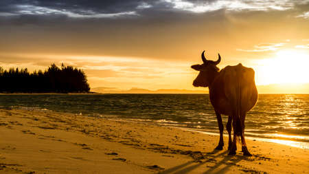 Sunrise silhouette of a cow on Beach photo