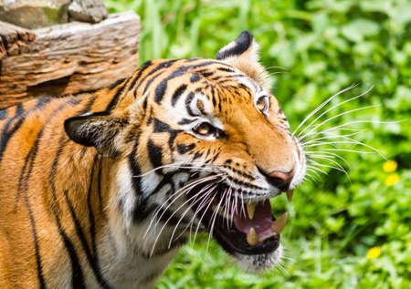 panthera tigris: Close up of a tigers face with bare teeth of Bengal Tiger  Stock Photo