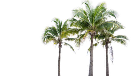 three palm trees: Coconut tree on white background