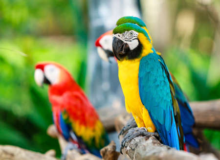 Colorful macaws photo