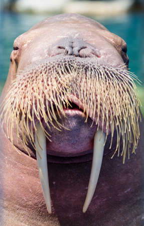 arctic landscape: A walrus, closeup  Stock Photo