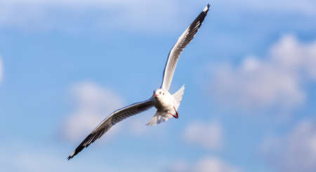 wingspread: Beautiful seagull in the bright blue sky Stock Photo