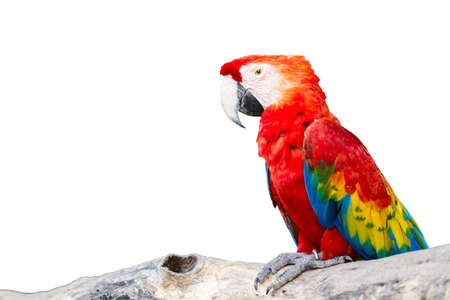 Colorful Scarlet Macaw isolated on background  photo